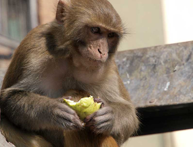 Hungry temple guardians (Rhesus Macaques)