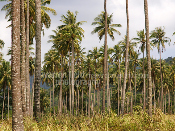 Dense palm groves along the coast of Koh Kood, Thailand