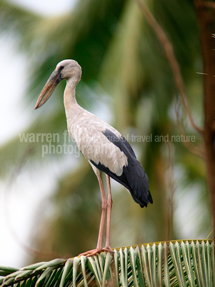 Open-billed stork in the palms of Thonburi village plantations.
