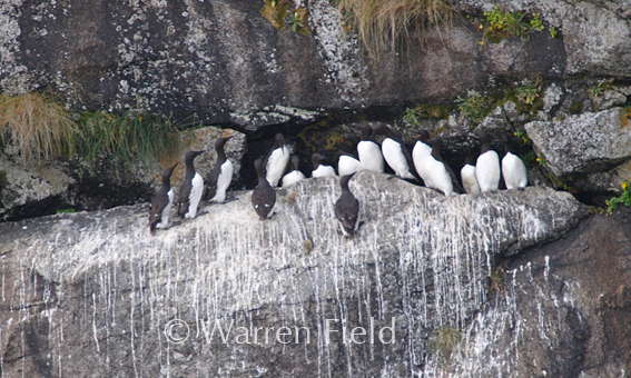 Location 7: Common Murre