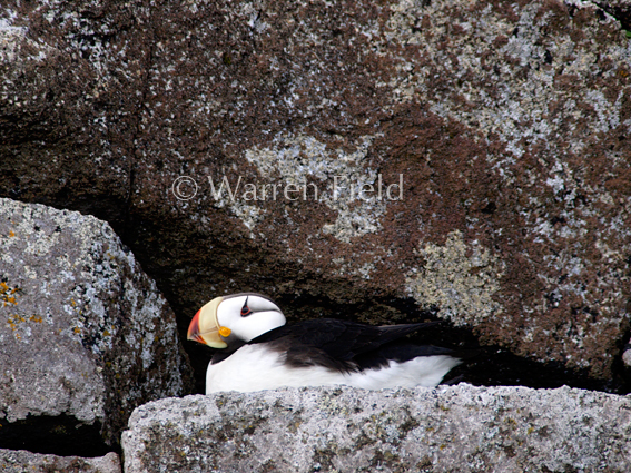 Location 8: Horned puffin